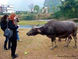 Feeding a water buffalo in  near Guilin 2013